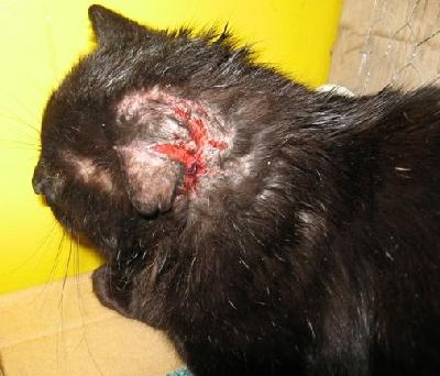 katt sår vid örat